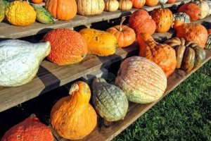 10966526-fall-harvest-festival-decorative-vegetables-with-festive-gourds-and-colorful-squashes-with-assorted-